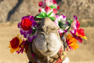 Camel in Rajasthan